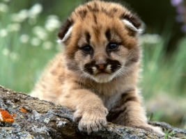 Mountain Lion Cub Wallpaper Baby Animals Animals