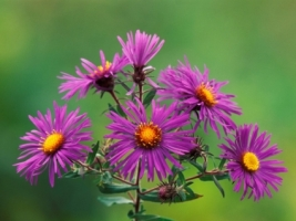 New England Asters Wallpaper Flowers Nature