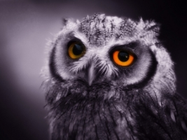 Night Owl Wallpaper Birds Animals