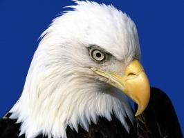 Noble Lead Bald Eagle