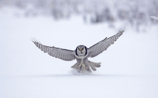 Northern Hawk Finland