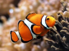 orange clownfish wallpaper fish animals wallpaper 317