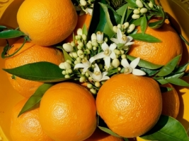 Oranges Wallpaper Plants Nature