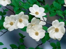 Pacific Dogwood Blossoms Wallpaper Flowers Nature