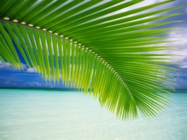 Palm Leaf Wallpaper Beaches Nature