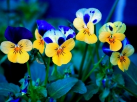 Pansies Wallpaper Flowers Nature