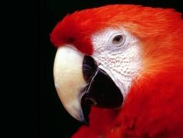 Parrot High Resolution