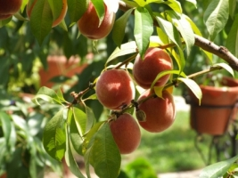 Peaches Wallpaper Fruits Nature