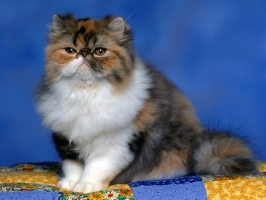 Persian Calico Kitten