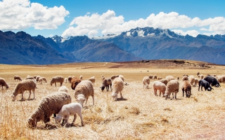 Peru Sheep Fields