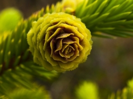 Picea cone Wallpaper Plants Nature