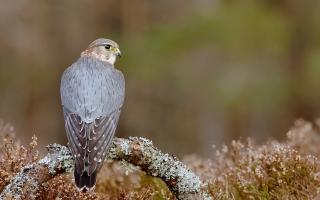 Pigeon Hawk