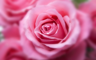 Pink Color Rose