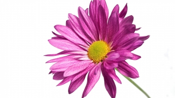 Pink Daisy 1080p
