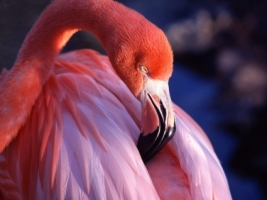Pink Flamingo Wallpaper Birds Animals