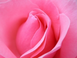 Pink Rose macro Wallpaper Flowers Nature