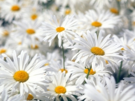 Plentiful Oxeye Daisies
