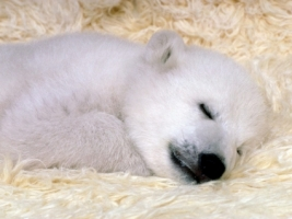 Polar Bear Cub Wallpaper Baby Animals Animals