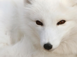 Polar fox Wallpaper Foxes Animals