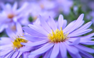 Pretty Violett Flowers