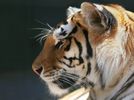 Profile of a Bengal Tiger Wallpaper Tigers Animals