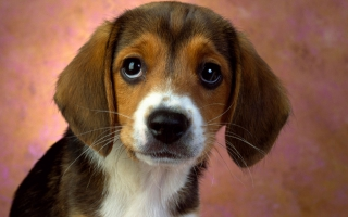 Puppy Eyes Beagle
