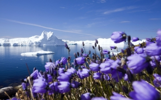Purple Arctic Flowers