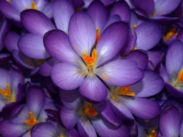 Purple Crocus Wallpaper Flowers Nature