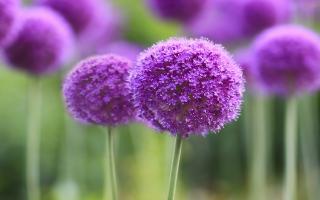 Purple Symphony