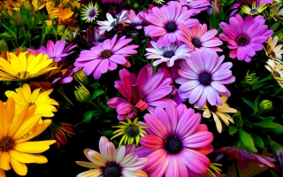Purple Yellow Daisy Flowers