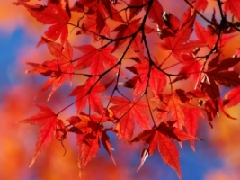 Red autumn leafs Wallpaper Autumn Nature