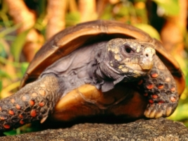 Red Foot Tortoise Wallpaper Turtles Animals
