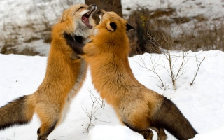 Red Foxes Montana