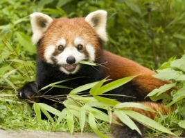 Red Panda Eating Bamboo Wallpaper Bears Animals