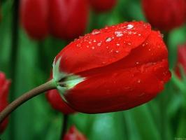Red Rose 3