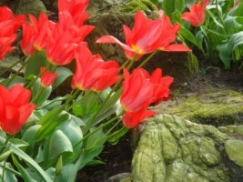 Red Tulips Wallpaper Flowers Nature