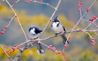 Red whiskered Bulbul Birds