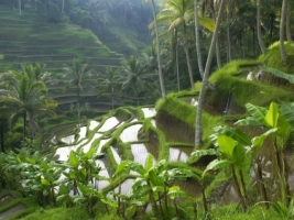 Rice Paddy Terraces Wallpaper Indonesia World