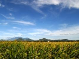 Rice Wallpaper Plants Nature