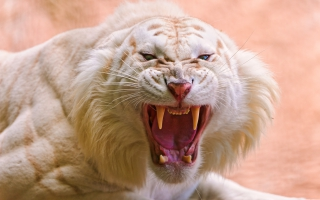 Roaring White Tiger