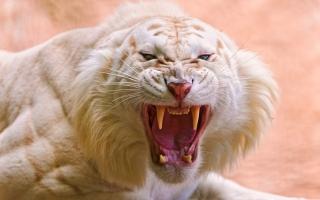Roaring White Tiger
