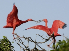 Scarlet Ibises Wallpaper Birds Animals
