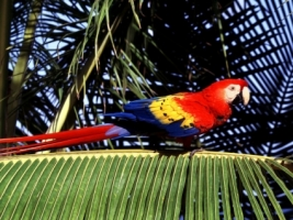 Scarlet Macaw Tropical Perch Wallpaper Parrots Animals