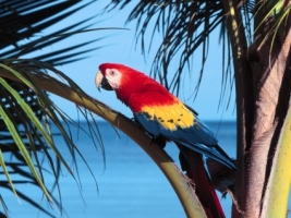 Scarlet Macaw Wallpaper Parrots Animals