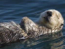 Sea Otter Wallpaper Other Animals