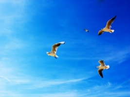 Seagulls Wallpaper Birds Animals