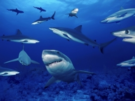 Sharks Wallpaper Fish Animals