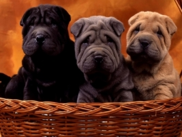 Sharpei cubs Wallpaper Dogs Animals