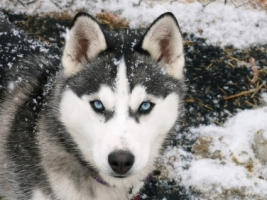 Siberian Husky Wallpaper Dogs Animals