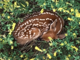 Sleeping Whitetail Fawn Wallpaper Baby Animals Animals